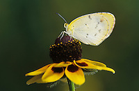 Little Yellow, Eurema lisa, female on Clasping-leaved Coneflower(Dracopis amplexicaulis) , Willacy County, Rio Grande Valley, Texas, USA, May 2004