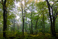 Sunlight tries to break through the fog in the forest at Door Bluff County Park, Door County, Wisconsin