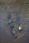 Tarcoles River Crocodiles in Costa Rica
