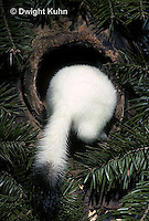 MA05-100x  Short-Tailed Weasel - ermine exploring tree cavity for prey in winter - Mustela erminea