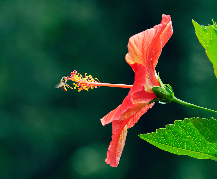 Hibiscus blossom with visiting bee
