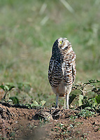Burrowing Owls, Clarendon, TX