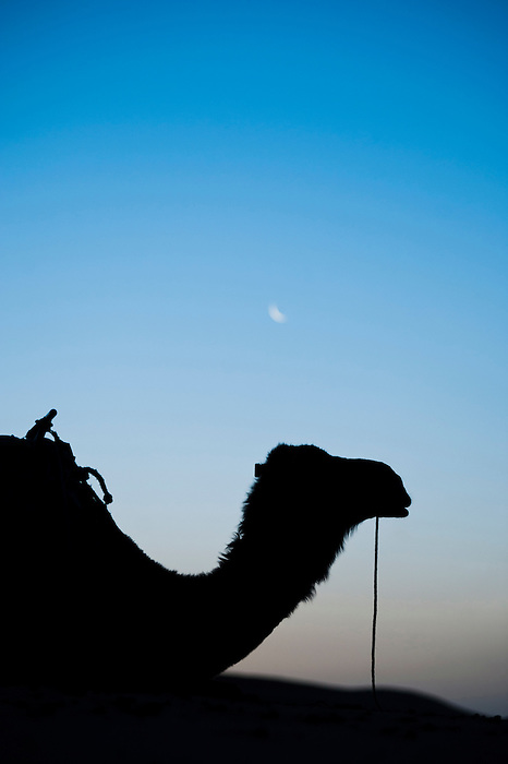 Camel silhouetted below the moon at night, Erg Chebbi Desert, Sahara Desert near Merzouga, Morocco, North Africa, Africa. This photo of a camel silhouetted below the moon was taken in Erg Chebbi desert at night. Erg Chebbi is the desert with the largest sand dunes in Morocco.