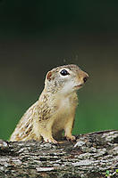 Mexican Ground Squirrel, Spermophilus mexicanus, adult, The Inn at Chachalaca Bend, Cameron County, Rio Grande Valley, Texas, USA, May 2004