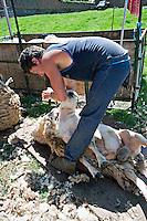 Farmer shearing his sheep..©shoutpictures.com..john@shoutpictures.com