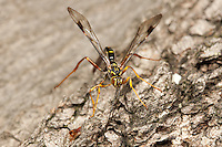 A male Giant Ichneumon (Megarhyssa macrurus) wasp searches for females developing inside a log on the larva of Pigeon Horntail (Tremex columba).  Once found, the male will attempt to inseminate the female prior to her emergence or mate with her shortly thereafter.