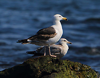 Third-cycle great black-backed gull