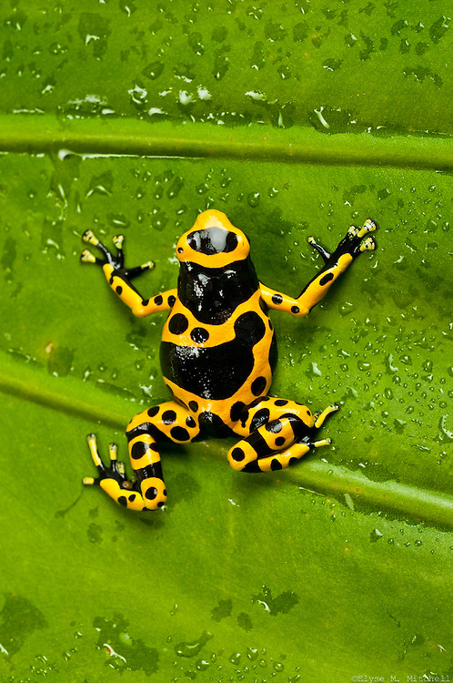 This is a bumble bee poison dart frog resting on a damp leaf. This reptile was brought to Rocky Nook Park by famous animal wrangler Dennis Sheridan and other various educators. I shot this guy with a 60mm lens (Magnification 1/2x).