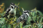 Pied Kingfisher, Ceryle rudis, pair sitting on shrub bush, West Africa. .Gambia....