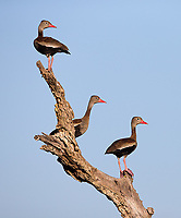 Black-bellied whistling ducks were migrating through the Pantanal during our visit.