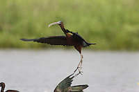 Glossy Ibis; Plegadis falcinellus; NJ, Delaware Bay