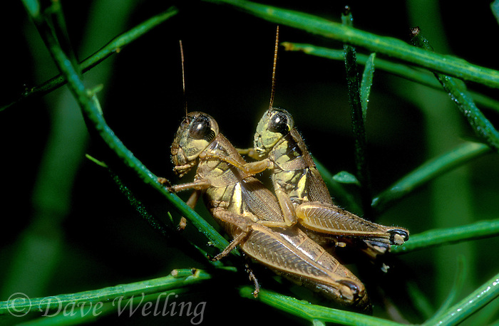 343560016 a wild pair of lubber grasshoppers brachystola magna perched on a plant stem mating in the rio grande valley of south texas