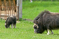 Musk Oxen at the Large Animal Research Station, University of Alaska, Fairbanks
