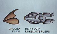 Biology:  Darwin's Finches--Ground finch and heavy-duty pliers.  Reference only.