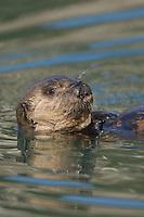Sea Otter (Enhydra lutris) pup..