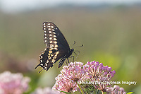 03009-01911 Black Swallowtail (Papilio polyxenes) male on Swamp Milkweed (Asclepias incarnata) Marion Co. IL