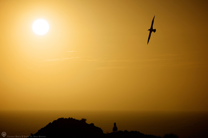 A shy albatross wings across the sky at sunset