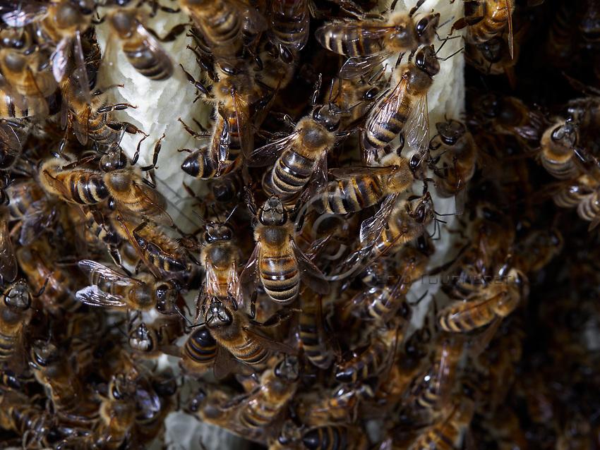 The construction by the bees of wax combs and cells is a unique case in the animal kingdom. The melliferous bees produce the raw materials, the wax and the combs for their nest. They transform the honey's sugar into fatty substances with their wax glands.<br /> La construction par les abeilles des rayons et des cellules de cire est un cas unique dans le monde animal. Les abeilles mellif&egrave;res produisent la mati&egrave;re premi&egrave;re, la cire, et les rayons de leur nid. Elles transforment le sucre du miel en corps gras avec leurs glandes ciri&egrave;res.