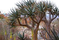 Succulent tree in Joshua Tree National Park
