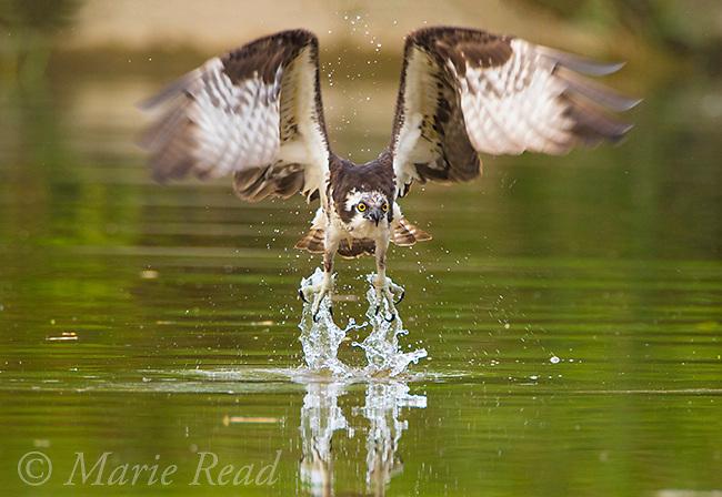 Osprey (Pandion haliaetus) taking flight toward viewer from shallow creek where it had been bathing and drinking, Lansing, New York, USA