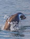 USA, Alaska, Glacier Bay National Park, , Steller sea lion (Eumetopias jubatus)