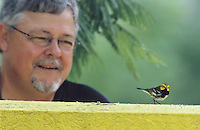 Black-throated Green Warbler, Dendroica virens, male on wall with birder watching, Convention Center, South Padre Island, Texas, USA, May 2005