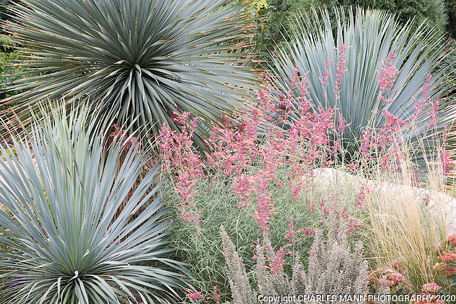 Tall blue Yucca rostrata makes a strking sculptural element in a combination whichi includes agastache and other drought tolerant  species in a xeriscape design by dan Johnson at the Denver Botanic Garden.