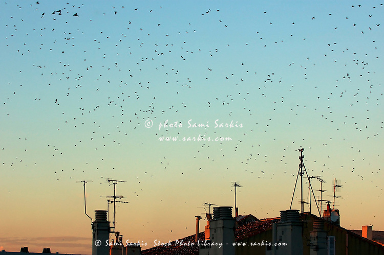 Flock of swallows flying over rooftops at sunset during fall.