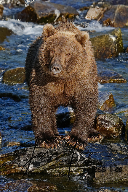 Photo of a grizzly standing on rocks in a river. Grizzly Bear or brown bear alaska Alaska Brown bears also known as Costal Grizzlies or grizzly bears