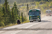 A grizzly bear walks on the Denali Park road as visitors in tour buses watch closely.