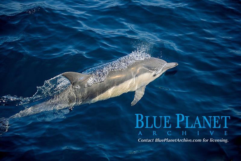 Common Dolphin, Delphinus delphis, Isle Guadalupe, Baja, Mexico, Pacific Ocean