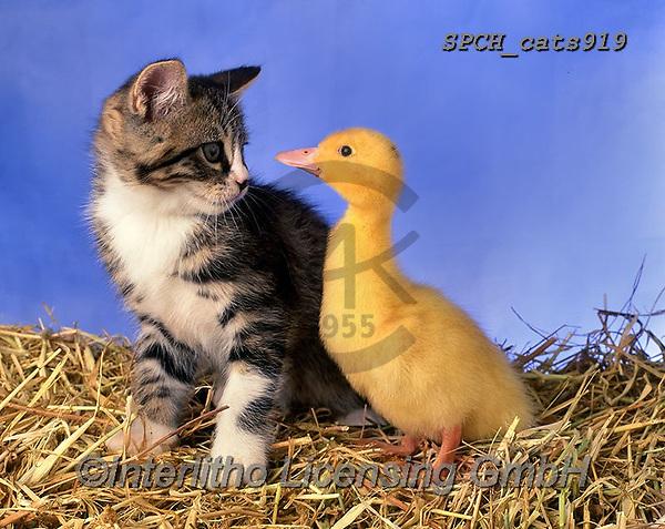 Xavier, ANIMALS, REALISTISCHE TIERE, ANIMALES REALISTICOS, cats, photos+++++,SPCHCATS919,#a#, EVERYDAY