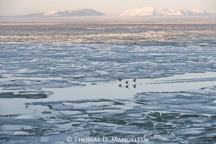 On a spring morning, three barrow's goldeneyes take off from Yellowstone Lake in Yellowstone National Park, Wyoming.