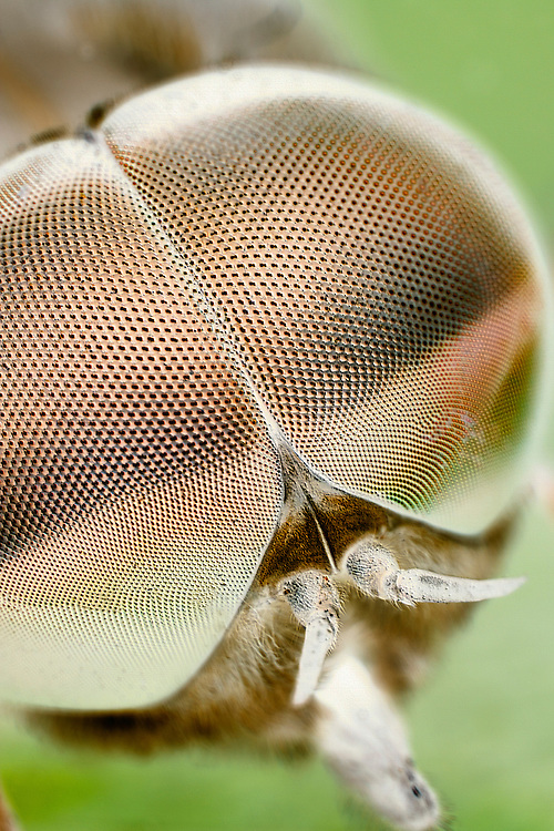 Compound Eyes of Drone Fly (EM Style)
