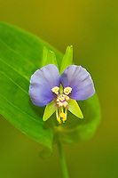 124450001 a wild false dayflower tinantia anomala in bloom at hornsby bend austin travis county texas united states
