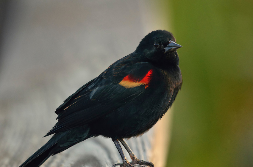 Red-winged Blackbird giving us the eye.  Wakodahatchee Wetlands, Delray Beach, FL, United States