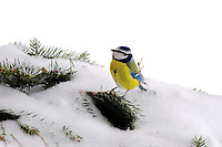 Blue Tit grasping seed on pine branch in the snow