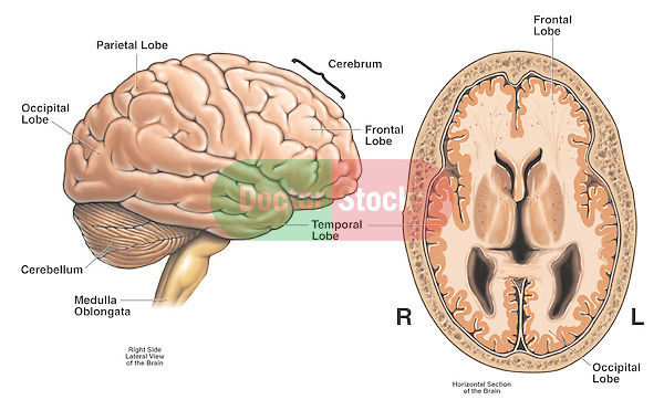 Anatomy Of The Brain Doctor Stock