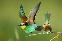 Bee-eater, Merops apiaster, Bienenfresser, near Nikopol, Bulgaria