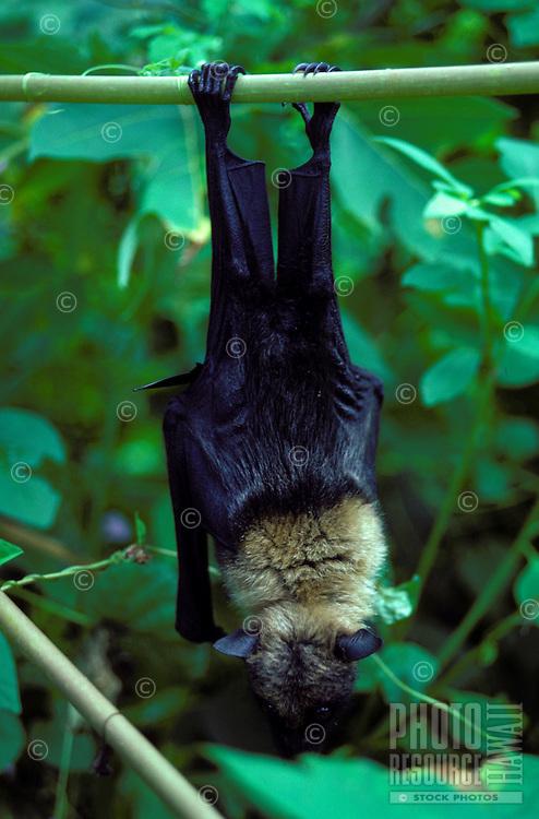 Palauan fruit bat, Anguar, Palau-captive animal