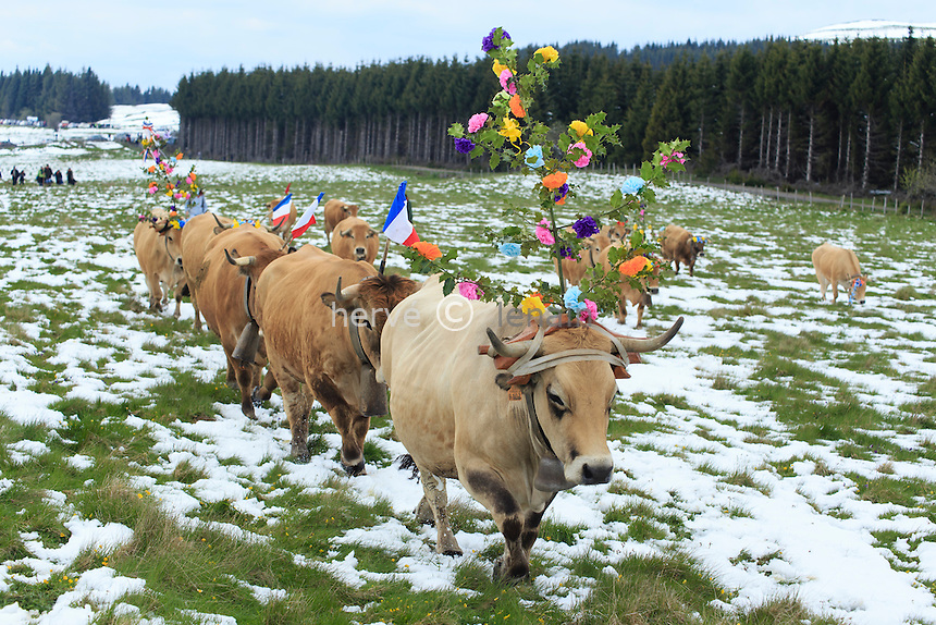 France, Aveyron (12), Saint-Chély-d'Aubrac, hameau d'Aubrac, transhumance de printemps en mai // France, Aveyron, Saint Chely d'Aubrac, Aubrac hamlet, spring transhumance in May