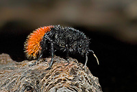 394750006 a wild female red velvet ant daymutilla magnifica poses on a dead tree limb in the rio grande valley of south texas