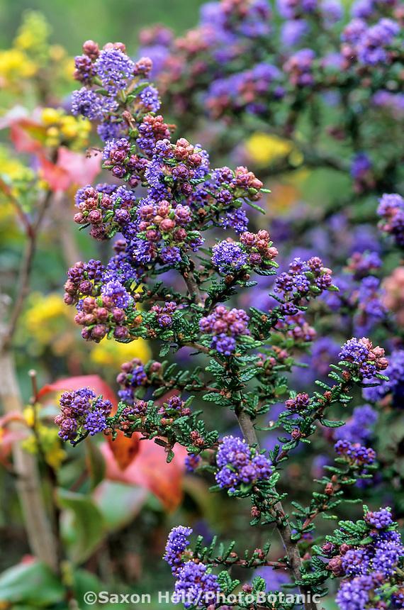 Ceanothus 'Julia Phelps' blue flowering California native shrub.