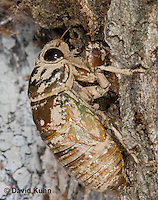 0901-0806  Dog-day Cicada Nymph Climbing into Position to Emerge into Adult, Tibicen spp.  © David Kuhn/Dwight Kuhn Photography.