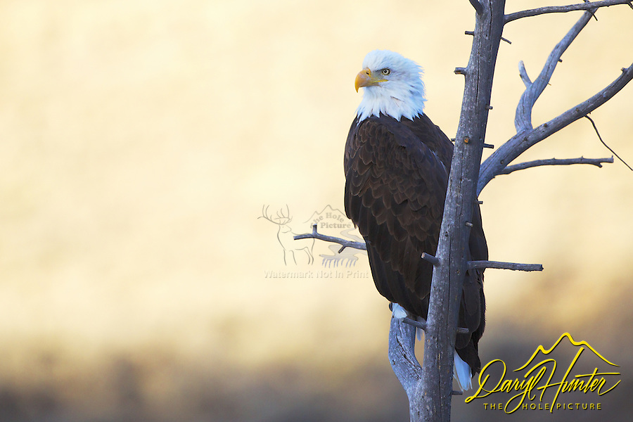 Perched Bald Eagle portrait, Jackson Hole, Wyoming