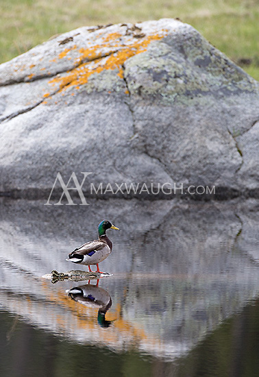 Mallard ducks are one of the more common types of waterfowl seen in the park.