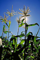 silhouette of tops of corn plant with tassel in cornfield back lit by sun with blue sky in top of frame. vegetable, crop, harvest, golden, corn silk, leaves, plant, agriculture. California.