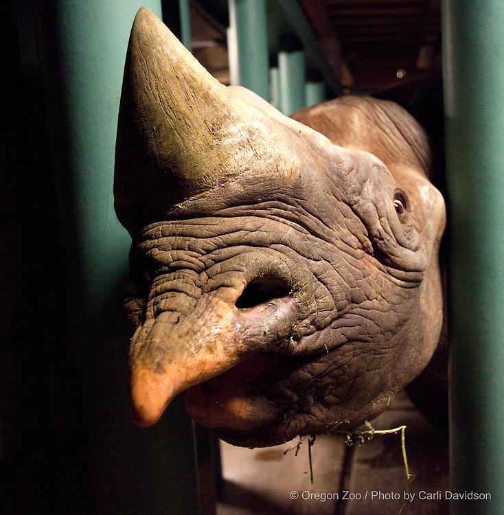 Pete the black rhino sticks his head out from between his bars at the Oregon Zoo. © Oregon Zoo / Photo by Carli Davidson