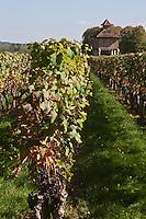 Europe/Europe/France/Midi-Pyrénées/46/Lot/Caillac:  Château  de La Grézette XVI ème  et son pigeonnier dans le vignoble AOC Cahors