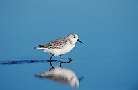 Sanderling, Calidris alba,adult running winter plumage, Sanibel Island, Florida, USA